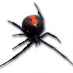 【注意喚起】セアカゴケグモが新潟市で確認